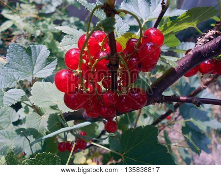 Red currant - berries. Perennial shrub. It grows in the garden