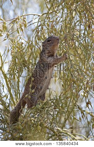 A mother Arizona Gray Squirrel (Sciurus Arizonensis) up a tree feasting on