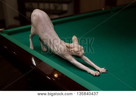 Profile sphynx cat sits on a green table