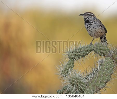 A Cactus wren (Campylorhynchus brunneicapillus) finds cholla cactus spines the best defense against Sonoran Desert predators.