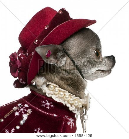 Close-up of Chihuahua in winter outfit, 7 years old, sitting in front of white background