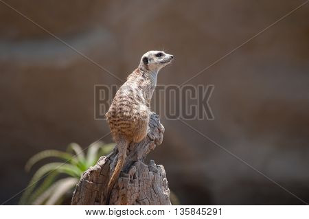Landscape view of adorable Meerkat sitting high on wooden stump looking right.