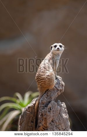 Adorable Meerkat sitting high on wooden stump looking straight.