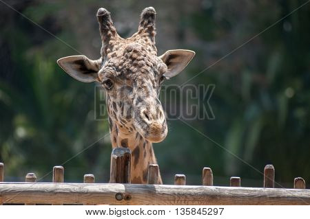 Large and furry head of the Masai Giraffe looking over the fence.