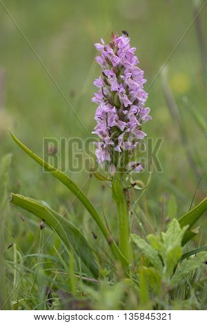 Early Marsh Orchid (Dactylorhiza incarnata) flowering in a Dune Valley