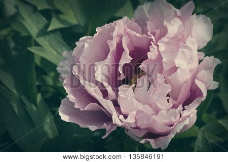 toned image of a pink peony flower closeup