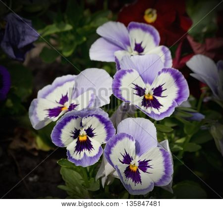 blue and white pansies closeup on a bed