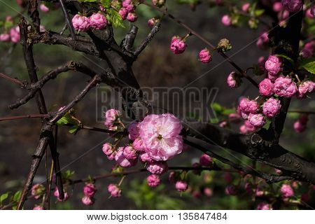 blossoming branch of pink almond close up