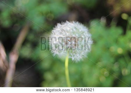 Dandelion puff with seed pollen close up view