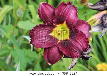 Dark purple lily flower top view close up