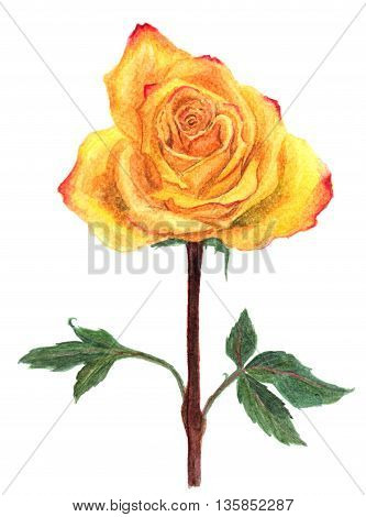 Watercolor yellow rose isolated on white background