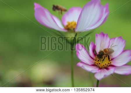 Two white and pink flowers with bees hovering over