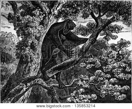 Flying lemur from the Eocene period. From The World Before Man, vintage engraving, 1880.