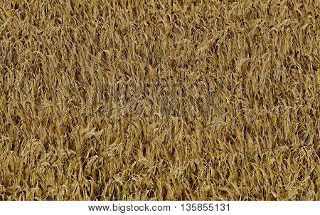 the structure of the ripened barley in the field