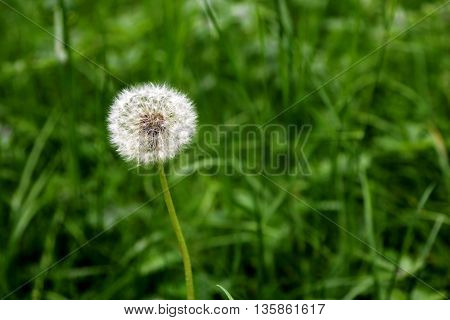 Dandelion flower head with numerous florets with seeds underneath in the wild