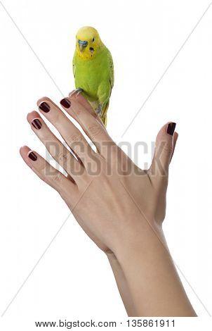 Budgie on female hand isolated on white background.