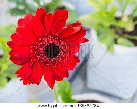 Beautiful red flower blossom in the garden