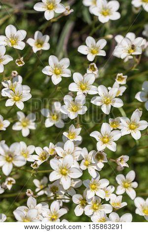 White flowering saxifrage in spring close up