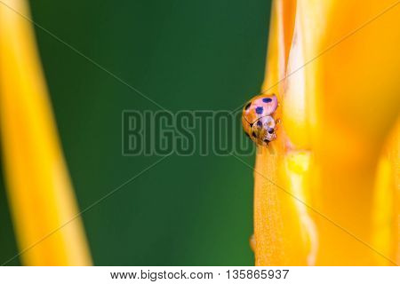 Asian Ladybug or ladybird beetle(Harmonia axyridis) on flower