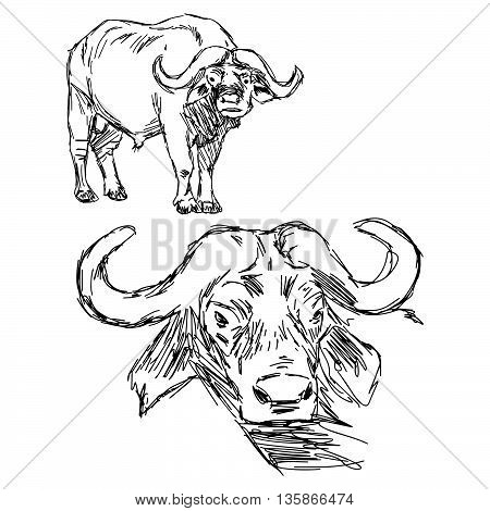 illustration vector hand drawn of Cape buffalo isolated on white background