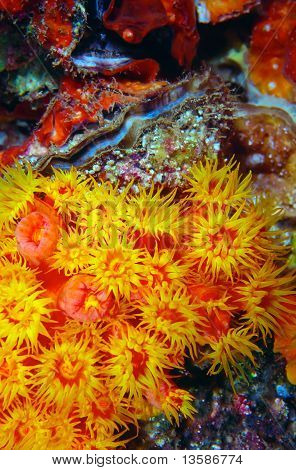 Orange Cup Coral Tubastrea coccinea and Scallop