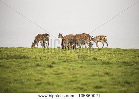 Female Sika Deer Grazing On Open Grassland On Overcast Day