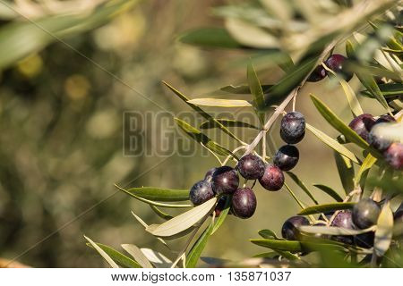 isolated black olives growing on tree in olive grove