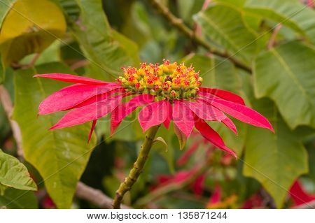 close up of red poinsettia plant leaves