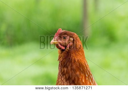 Free range chicken hen portrait on grass in farm