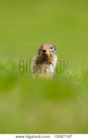 Gopher peaking out of it's hole