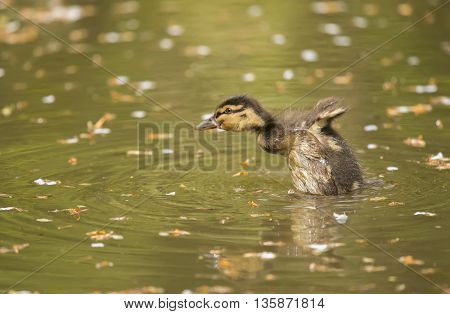 Mallard Duckling On A River, Close Up, Displaying
