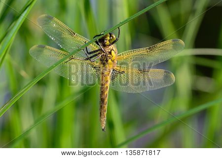 freshly hatched dragonfly she is sitting on a leaf of grass