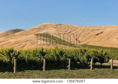 rows of grapevine growing in vineyard on sunny hill in summer