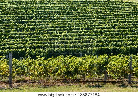 fresh rows of grapevine growing in vineyard
