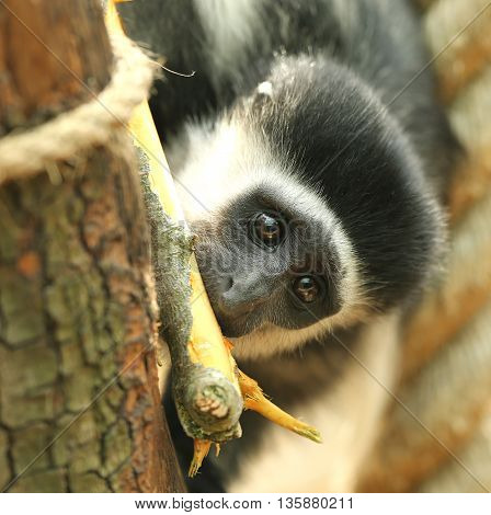 Close up of a Eastern Black-and-White baby Colobus monkey