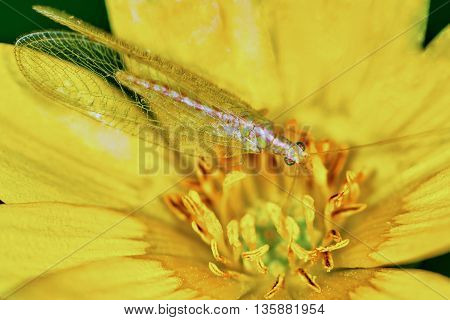 Lacewing on a marsh marigold in the summer garden