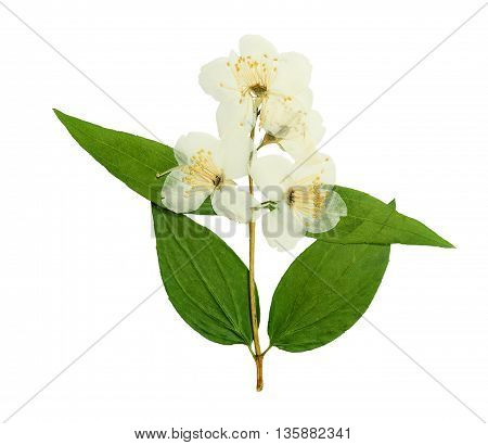 Pressed and dried flower Jasmine. Isolated on white background. For use in scrapbooking pressed floristry (oshibana) or herbarium.