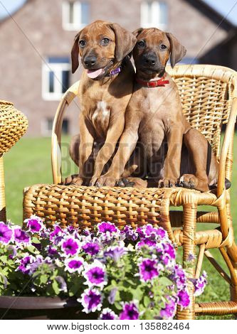 Ridgeback hound dog puppy