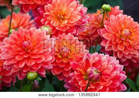 Dahlia red flower in garden full bloom