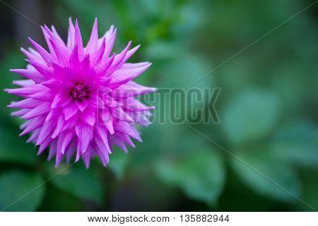 Pink Dahlia flower in full bloom closeup