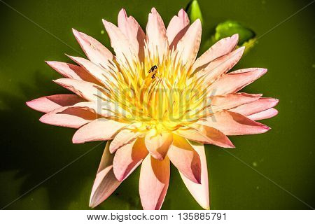 Petal of the lotus blossom and honeybee.