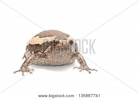 Close-up one big bullfrog on white background