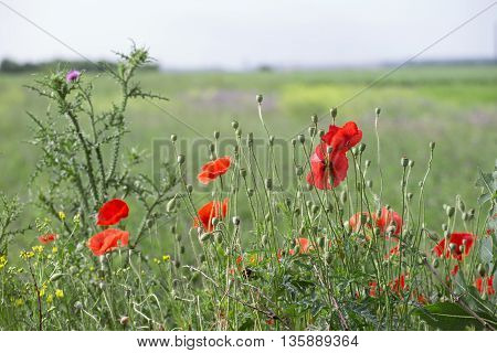 Poppies and thistle on the field background