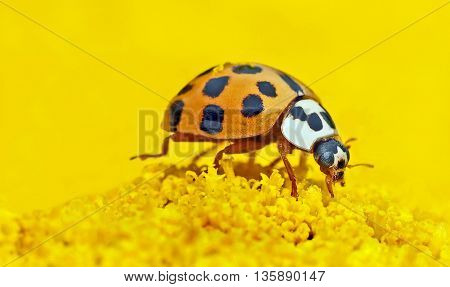 an image of a ladybug in nature. an insect with a beautiful texture wings see