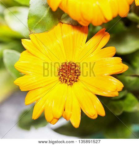 Yellow Gerbera In Close Up