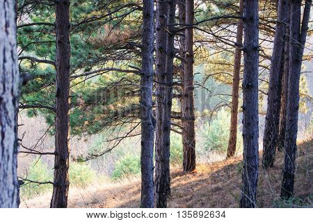 Pine trees on the slope. Spring Nature Caucasian Mineral Waters in the area.