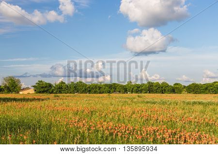Wildflower - Indian paintbrush field and farmland