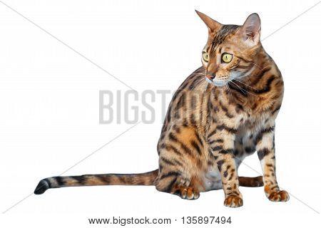 Single bengal cat isolated on white background