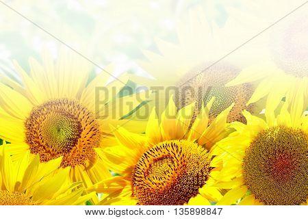 Beautiful sunflower field in summer. yellow flower