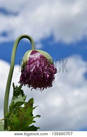 Poppy begins to develop flower. Poppy flower.
